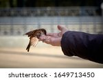 Sparrow Eating From The Hand