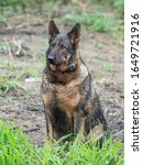 Small photo of Big stray dog portrait. Sad stray dog posing on the street. Portrait of a sad stray dog