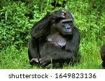 Eastern Lowland Gorille ...