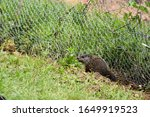 Small photo of A baby groundhog pup investigating a mint plant outside a garden gate in early summer
