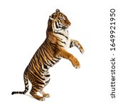 Male tiger on hind legs  big...