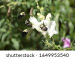 Bumblebee In Flight And In...