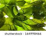 Wet Seaweed Kelp   Laminaria  ...