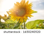 The Common Sunflower  Is A...
