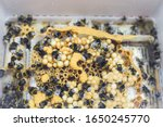 Bumblebee Nest In A Plastic Box