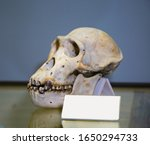 The Skull Of The Chimpanzee ...