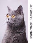 Portrait Of Gray Shorthair...
