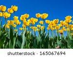 Beautiful Colourful Tulip...