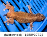 Small photo of Brown House Lizard Had An Autotomy