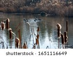 Canadian Geese On The Lake Eat...