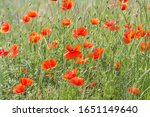 view on red poppies flowers on... | Shutterstock . vector #1651149640