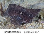Small photo of Brown spiny waspfish (Ablabys macracanthus) lying in wait on gravel sea floor. Puerto Galera, Philippines.