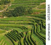 wachau vineyard  | Shutterstock . vector #165130064