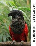 Pesquet's Parrot  Psittrichas...