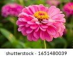 Zinnia Colorful Flower ...