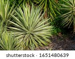 Spiky Leaf Agave Growing In A...