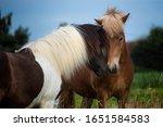 Two Icelandic Horses  Ponies ...
