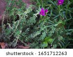Flowering Thyme In A Herb...