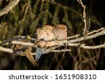 Two Mourning Doves Sitting In...