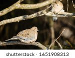 Mourning Doves Sitting In...