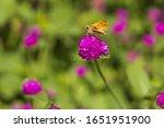 Fiery Skipper  Butterfly...