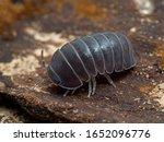 Terrestrial Isopod  Armadillo...