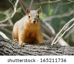 Fox Squirrel On A Branch
