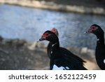 Egyptian Duck In Doha  Qatar