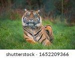 A Female Sumatran Tiger  Hujan  ...