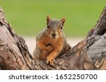 Portrait of fox squirrel ...
