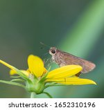 An Ocola Skipper Butterfly ...