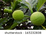 Breadfruit On A Tree In...