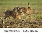 Stock photo brown hare lepus europaeus 165240956