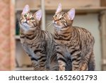 Two Tabby Young Cats Together