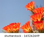 Claret Cup Cactus Flowers...
