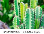 Close Up Bush Of Cactus In The...