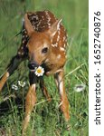 Small photo of White-Tailed Deer, odocoileus virginianus, Fawn standing with Flowers