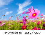 a cosmos flower face to sunrise ... | Shutterstock . vector #165277220