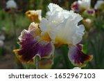 Tall Bearded Iris  Sordid Lives