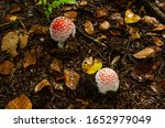 Two Young Fly Agaric Amanita...