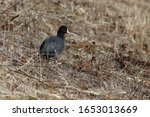 The Coot Which Floats On The...