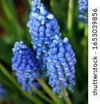 Close Up Of Blue Grape Hyacinth ...