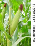 Small photo of Corn pods on the corn plant,corn field in agricultural garden, pods corn on trunk