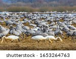 Migratory Cranes And Whooper...