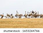 Cranes On A Stubble Field In...