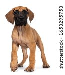 Small photo of Handsome fawn / blond Great Dane puppy, walking towards camera. Looking beside lens with dark shiny eyes. Isolated on white background. One paw in air for movement.