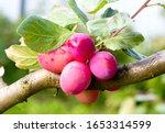 Plum Tree With Ripe Plum Fruit. ...