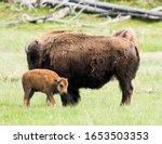 Mother Buffalo  Bison Bison ...