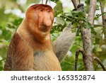 A Highly Endangered Proboscis...