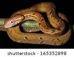 the common mock viper ... | Shutterstock . vector #165352898